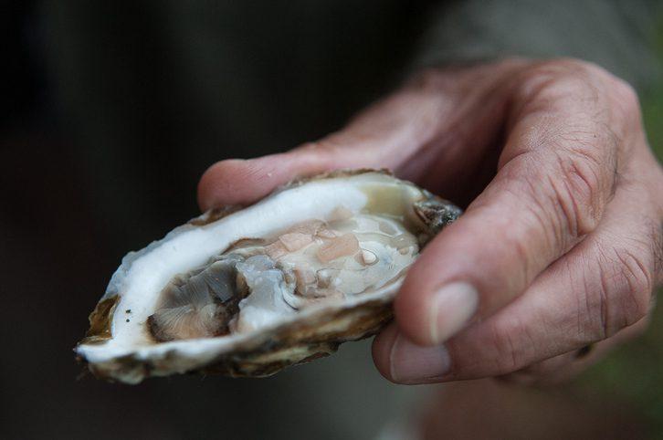 Oysters, Chesapeake Bay, Virginia.